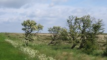 Hawthorn trees by Newton Mulgrave Moor - copyright NYMNPA