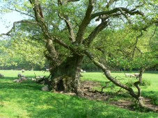 Another veteran tree - copyright NYMNPA