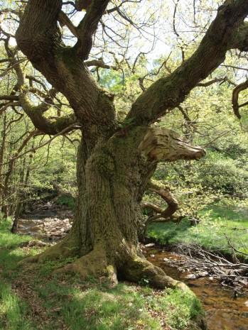 Beckside veteran tree - copyright NYMNPA