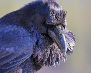 Raven - the Watcher by JestePhotography. http://jestephotography.deviantart.com/art/Raven-The-Watcher-532656250.