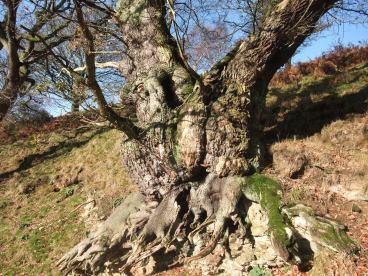 Veteran tree at Bilsdale Hall - copyright NYMNPA