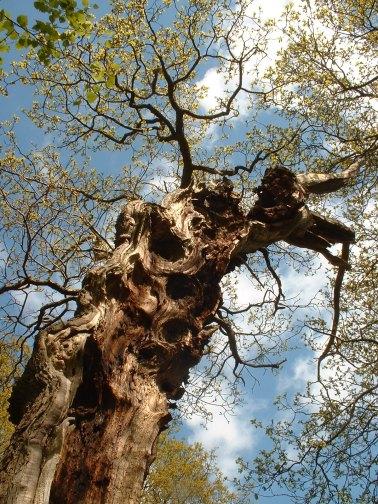 Veteran tree at Helmsley Deer Park - copyright NYMNPA