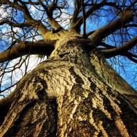 Veteran tree at Low Wood, Hawnby - copyright Alasdair Fagan, NYMNPA