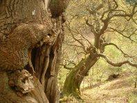 Veteran trees, Helmsley Deer Park - copyright NYMNPA