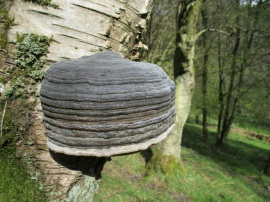Fungi in and around the North York Moors - Birch Bracket - copyright Roy McGhie, NYMNPA.