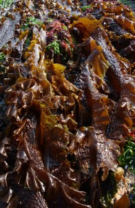 Laminaria saccharina also known as Saccharina latissima - image from The Seaweed Site: information on marine algae http://www.seaweed.ie/descriptions/saccharina_latissima.php