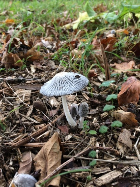 Fungi in and around the North York Moors - Shaggy Inkcap - copyright Tom Stephenson, NYMNPA.