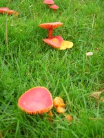 Fungi in and around the North York Moors - Wax Cap fungi - copyright NYMNPA.