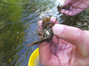 White-clawed crayfish - during 2016 rescue in Duncombe Park. Copyright NYMNPA.
