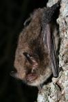 Alcathoe bat. Copyright Cyril Schonbachler.