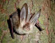 Brown long-eared bat - copyright John Altringham