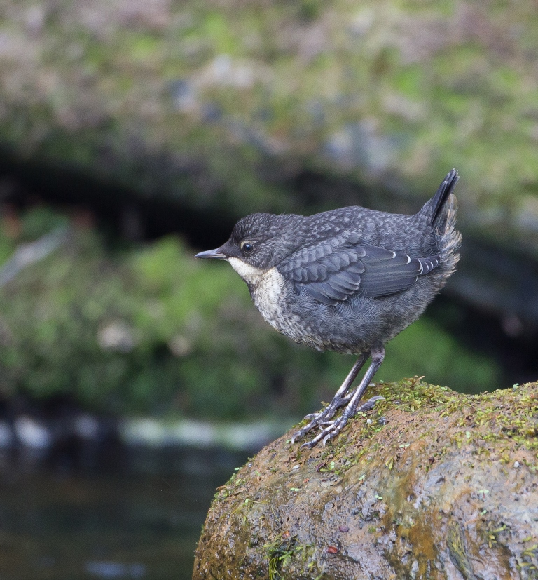 Juvenile Dipper (riverside bird). Amber status - moderate population declines in the UK. Copyright Mike Nicholas.