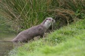 Riverbank otter. Copyright NYMNPA.