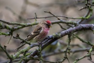 Lesser? redpoll (woodland/wetland bird). This RSPB Red status bird has suffered severe population declines in the UK. Relies on wet woodland species like birch and alder. Copyright Liz Bassindale, Howardian Hills AONB.