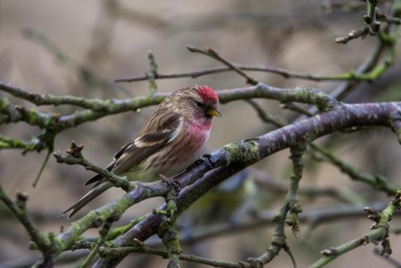 Lesser? redpoll (woodland/wetland bird). Copyright Liz Bassindale, Howardian Hills AONB.