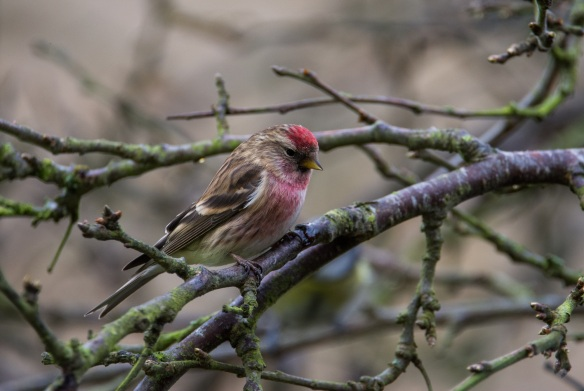Lesser? redpoll (woodland/wetland bird). Copyright Liz Bassindale, Howardian Hills AONB.
