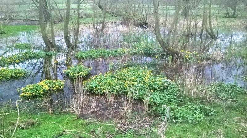Wetland area with marsh marigolds and willow/poplar woodland, near Sproxton - lower stretches of Rye catchment. Copyright Don Davies, Ryedale District Council.