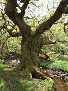 Veteran tree - grown up underwood - in the upper Rye catchment. Copyright NYMNPA.