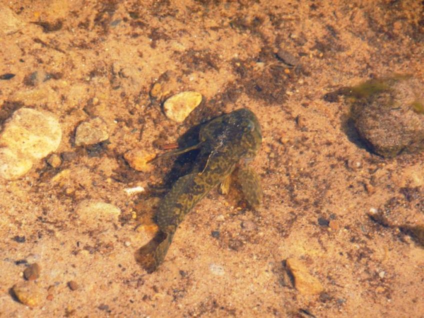 Bullhead - native fish dependent on water quality. Copyright Environment Agency.