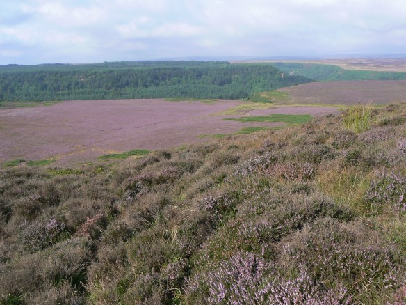 Levisham Moor with heather in bloom. Copyright NYMNPA.