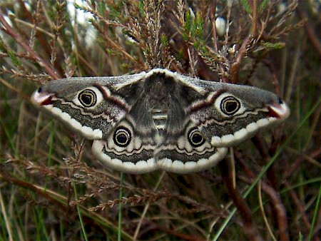 Female Emperor Moth, Newcastleton, Borders. Copyright Neil Dickson.