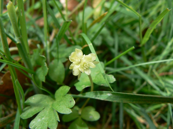 Moschatel at Sieve Dale. Copyright Ami Walker, NYMNPA.