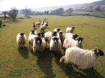 North York Moors sheep flock. Copyright NYMNPA.