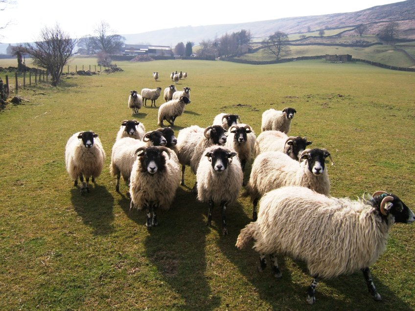 North York Moors sheep flock. Copyright NYMNPA.