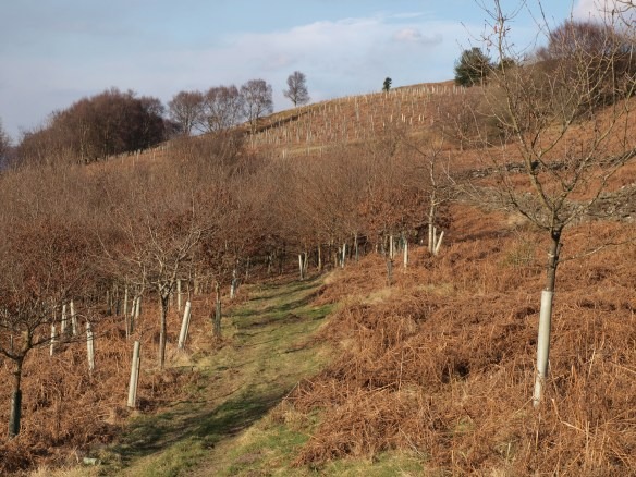 Part of the woodland planted approx. 16 years ago showing this year's additional planting in the distance. Copyright NYMNPA.
