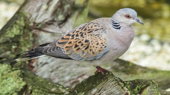 Turtle Dove - copyright THINKSTOCK.