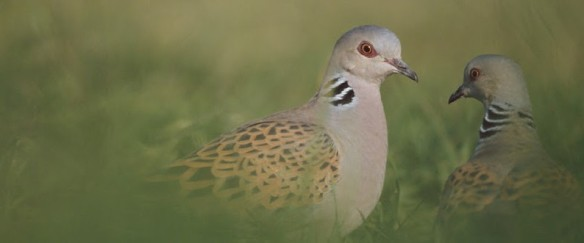 Turtle Doves - copyright RSPB.