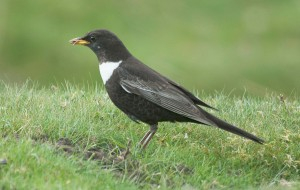Ring Ouzel with its distinctive white chest. Copyright North East Wildlife.