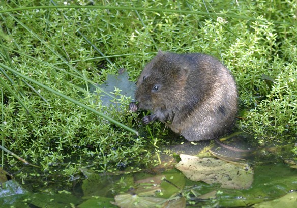 Water Vole by WildStock Images