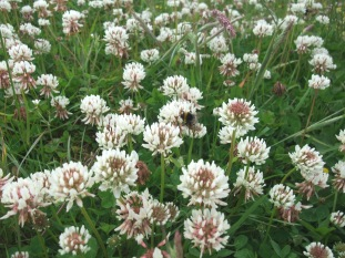 Bumble bee in white clover - by Sarah Bolton, NYMNPA