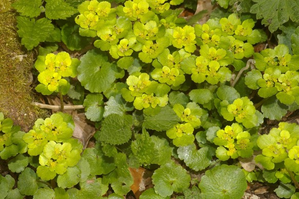 Chrysosplenium alternifolium from freenatureimages.eu