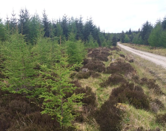 Example of Turtle Dove habitat - forest edge, Cropton Forest - copyright Richard Baines