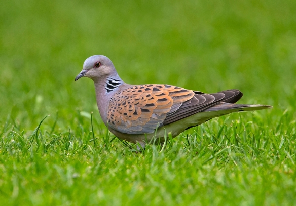 Turtle Dove - copyright Steve Race
