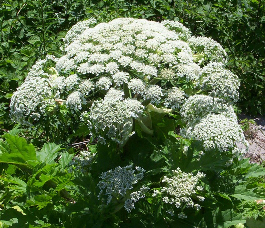 Giant hogweed. Copyright Farbenfreude, from Woodland Trust website.