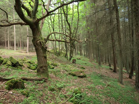 Mitchell Hagg Wood, Fadmoor - the remnants of broadleaved woodland are surrounded by conifers making this a Plantation on Ancient Woodland Site (PAWS). Copyright NYMNPA.
