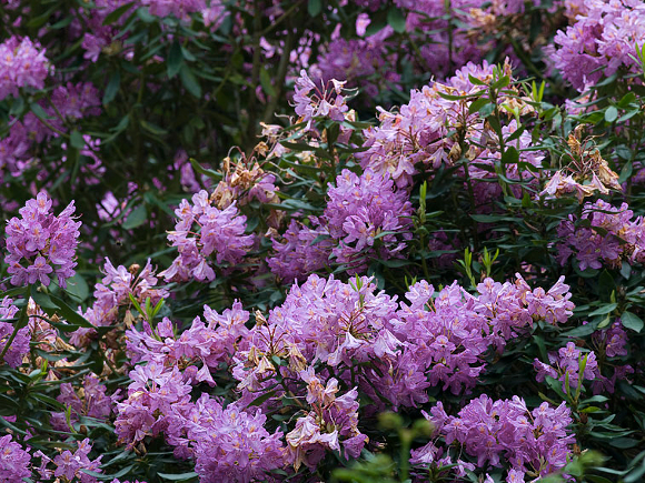 Rhododendron. Copyright North East Wildlife.
