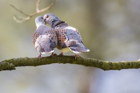 Turtle dove courtship at Sutton Bank NYMNP Visitor Centre May 2015 by Richard Bennet, North Yorkshire Turtle Dove Project