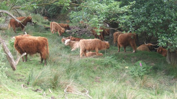 Highland Cattle on Levisham Estate. Copyright Ami Walker, NYMNPA.