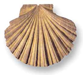 Large scallop shell (Genus - Pecten) from http://www.bgs.ac.uk