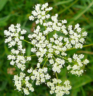 Pignut - from http://www.seasonalwildflowers.com/pignut.html