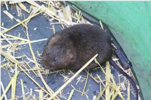 North York Moors Water Vole. Copyright Elspeth Ingleby, NYMNPA.