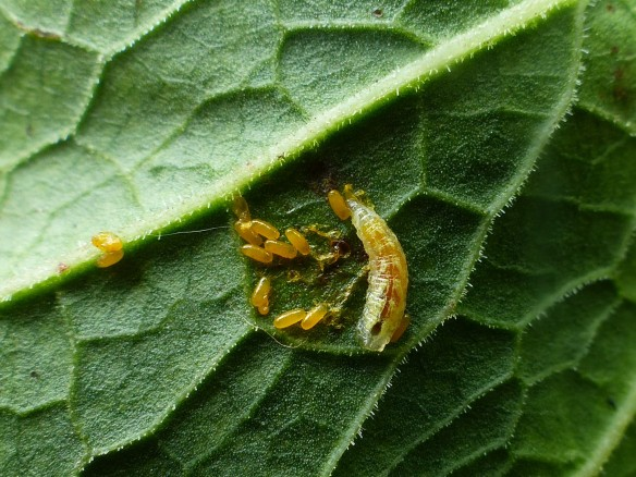 Growing P nigritarsis larva feeding on beetle eggs. Copyright Joan Childs, NYMNPA.