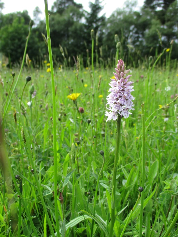 Triangle Meadow, Sutton Bank - Common spotted orchid at the forefront. Copyright Ami Walker, NYMNPA.