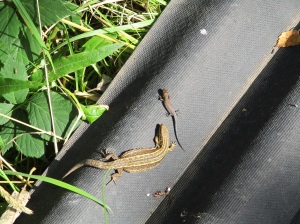 Reptile monitoring at Sutton Bank - female Common lizard with juvenile. Copyright NYMNPA.