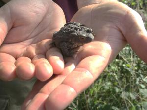 Reptile monitoring at Sutton Bank - Common toad. Copyright NYMNPA.