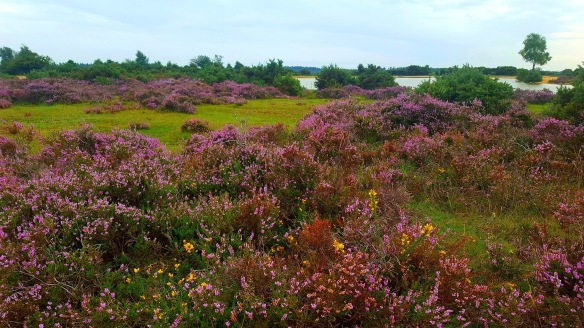 View of a New Forest heathland landscape. Copyright Julie Melin-Stubbs, New Forest National Park Authority.